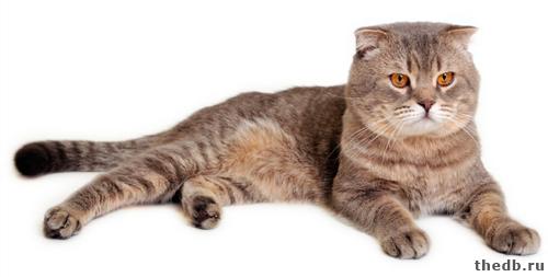 Шотландская вислоухая кошка Скоттишфолд фото цена