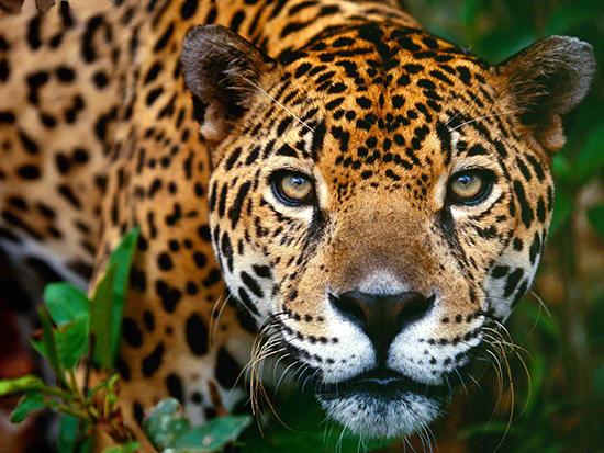 К Чему Снится Леопард Мужчине